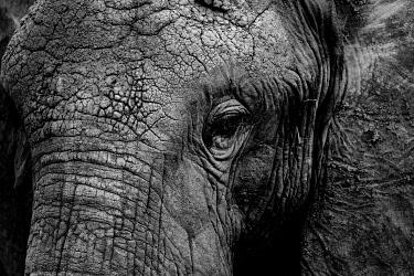 IBXRMI04783562 Black and white, detail of head of an african elephant (Loxodonta africana), Masai Mara National Reserve, Kenya, Africa
