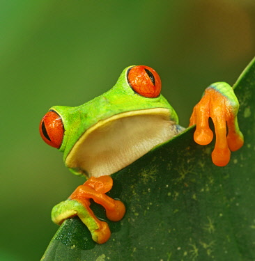 IBXMKH04872100 Red-eyed tree frog (Agalychnis callidryas) looks over leaf edge, animal portrait, Costa Rica, Central America