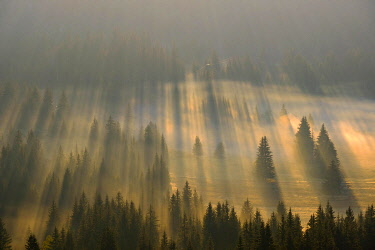 IBXMAN04825994 Sun rays shine in the forest through fog, sunrise, view from Curevac, Durmitor National Park, Zabljak Province, Montenegro, Europe