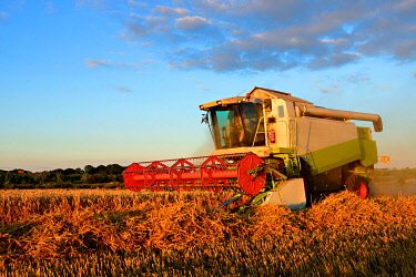 IBXKCV04891635 Combine harvester in cornfield harvests Wheat (Triticum), field under blue sky, Saalekreis, Saxony-Anhalt, Germany, Europe
