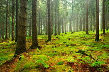 IBXKCV04891265 Sun shines through light spruce forest, soil overgrown with moss and fern, mountain range Deister, Lower Saxony Highlands, Niedersachsen, Germany, Europe