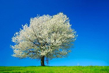 IBXKCV04888534 Big old Cherry tree (Prunus) in full bloom under blue sky, Saalekreis, Saxony-Anhalt, Germany, Europe