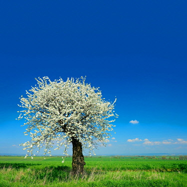 IBXKCV04888543 Green fields in spring, blooming old Cherry tree (Prunus), blue sky with clouds, Unstrut-Hainich-Kreis, Thuringia, Germany, Europe