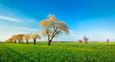 IBXKCV04889173 Green field, flowering Cherry trees (Prunus), blue sky, Burgenlandkreis, Saxony-Anhalt, Germany, Europe