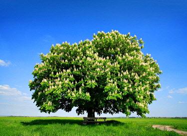 IBXKCV04889230 Solitary tree, flowering Horse chestnut (Aesculus) on green field in spring, blue sky, Harz foreland, Saxony-Anhalt, Germany, Europe