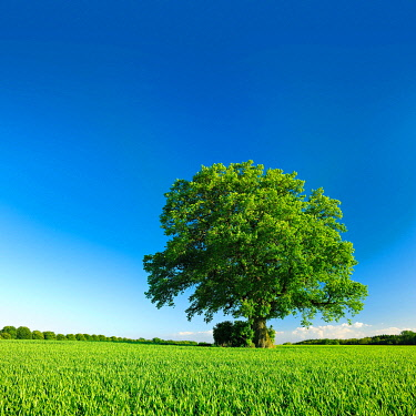 IBXKCV04889239 Solitary tree, old Oak (Quercus) on green field in summer with blue sky, Mecklenburg-Western Pomerania, Germany, Europe