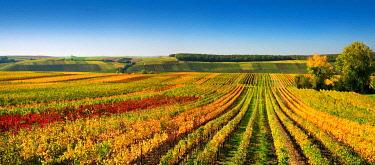 IBXKCV04884576 Vineyards at Kreuzberg in autumn, colorful foliage, blue sky, near Volkach, Lower Franconia, Main Franconia, Franconia, Bavaria, Germany, Europe