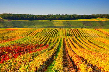 IBXKCV04884578 Vineyards at Kreuzberg in autumn, colourful foliage, near Volkach, Lower Franconia, Main Franconia, Franconia, Bavaria, Germany, Europe