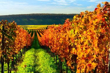 IBXKCV04884592 Vineyard in autumn, coloured foliage, near Volkach, Lower Franconia, Main Franconia, Franconia, Bavaria, Germany, Europe