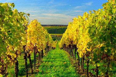 IBXKCV04884593 Vineyards in autumn, yellow foliage, near Volkach, Lower Franconia, Main Franconia, Franconia, Bavaria, Germany, Europe