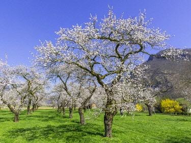 IBXHAN04881285 Apricot trees (Prunus armeniaca) in full bloom, Wachau, Willendorf, Lower Austria, Austria, Europe
