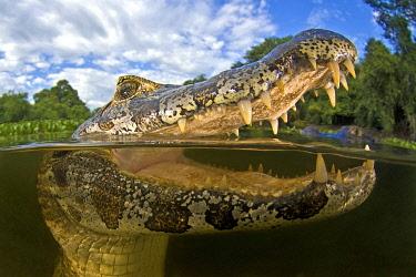 IBXHCO04671966 Yacare caiman (Caiman yacare), animal portrait, open mouth, split-level shot, Mato Grosso do Sul, Pantanal, Brazil, South America