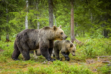 IBXGZS04832577 European brown bear (Ursus arctos arctos), mother animal with a young animal running in the forest, Suomussalmi, Kainuu, Finland, Europe