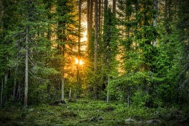 IBXGZS04832578 Sun star shining through trees, coniferous forest, Suomussalmi, Kainuu, Finland, Europe
