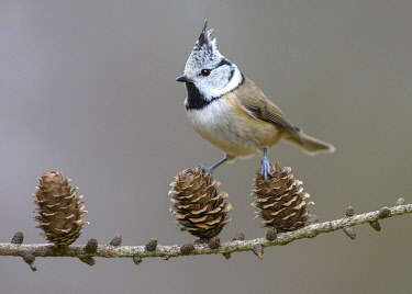 IBXBZO04798628 Crested tit (Lophophanes cristatus), sits on cone of Larch, branch (Larix), biosphere area Swabian Alb, Baden-Württemberg, Germany, Europe