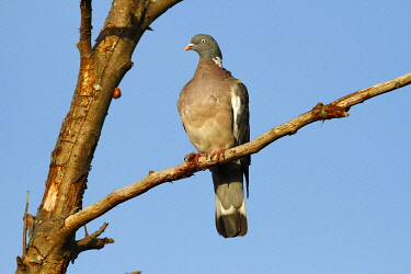 Common Wood Pigeon (Columba palumbus) perched on a branch, Baltic Sea island of Fehmarn, Schleswig-Holstein, Germany, Europe
