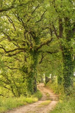 ITA14329AW Europe, Italy, Tuscany. The Via Francigena, an old pilgrimage way, near to Buonconvento seamed with old oak trees.