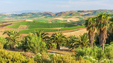 ITA14423AW Europe, Italy, Sicily. A typical landscape with hills, palm trees and vineyards in Northern Sicily.