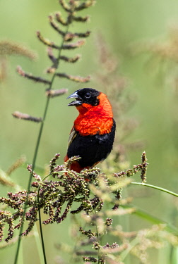 UGA1599 Uganda, Western Uganda, Semliki National Park.  The Northern Red Bishop is a beautifully marked bright red and black bird.