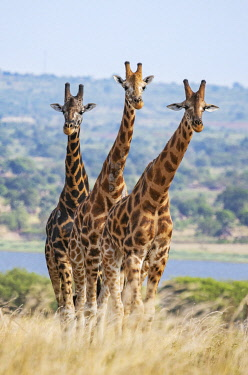 UGA1631 Uganda, Murchison Falls National Park. Three Rothschild giraffes in Murchison Falls National Park with Lake Albert in the background.
