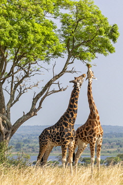 UGA1633 Uganda, Murchison Falls National Park. Rothschild giraffes reach for the tender leaves of a tall tree in Murchison Falls National Park with Lake Albert in the background.