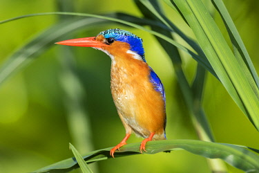 UGA1664 Uganda, Southern Uganda, Jinja. A Malachite Kingfisher on the banks of the Victoria Nile.