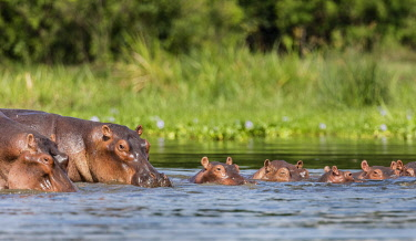 UGA1681 Uganda, Murchison Falls National Park. A pod of Hippos in the Victoria Nile.