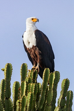 UGA1689 Uganda, Western Uganda, Queen Elizabeth National Park. A spectacular African Fish Eagle perched on a Euphorbia tree.