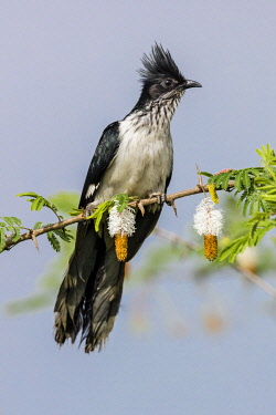 UGA1690 Uganda, Western Uganda, Queen Elizabeth National Park. Levaillant�s Cuckoo is a large crested Cuckoo with black and white plumage. It is perched on an invasive acacia-type Sicklebush tree.