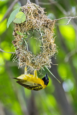 UGA1701 Uganda, Western Uganda, Ishasha, Queen Elizabeth National Park. A Black-headed Weaver building its woven nest.
