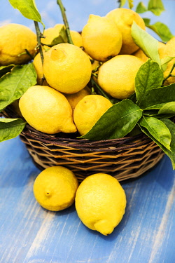 ITA14463 A fruit basket full of lemons freshly picked from the tree with leaves.