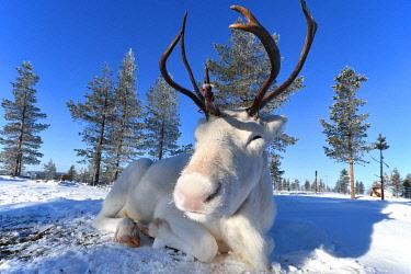 CLKMG112188 White Reindeer (albino), Saariselka, Lapland, Finland