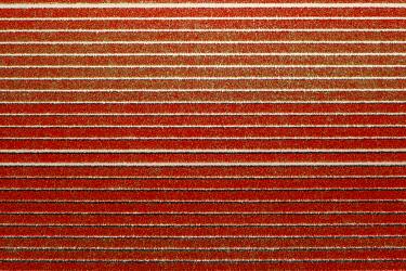 CLKGP109800 Red rows in an aerial view of tulips field (Sint Maarten, Schagen municipality, Dutch, North Holland, Netherlands