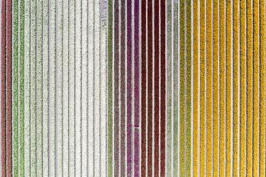 CLKGP109805 Aerial view of a multicolor tulips field (Warmenhuizen, Schagen municipality, Dutch, North Holland, Netherlands