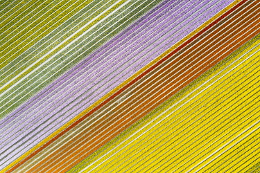 CLKGP109808 Aerial view of a multicolor tulips field (Warmenhuizen, Schagen municipality, Dutch, North Holland, Netherlands
