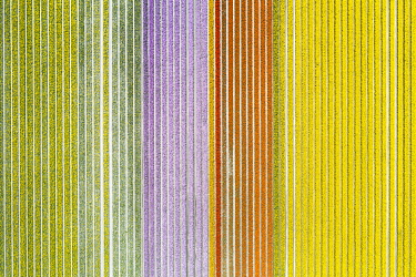 CLKGP109809 Aerial view of a multicolor tulips field (Warmenhuizen, Schagen municipality, Dutch, North Holland, Netherlands