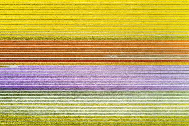 CLKGP109810 Aerial view of a multicolor tulips field (Warmenhuizen, Schagen municipality, Dutch, North Holland, Netherlands