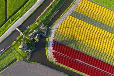 CLKGP109819 The De Kaagmolen windmill in front multicolor tulips field (Opmeer municipality, North Holland, Netherlands