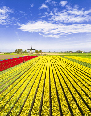 CLKGP110169 Red and yellow tulips in a multicolor tulips field near the De Kaagmolen windmill (Opmeer municipality, North Holland, Netherlands