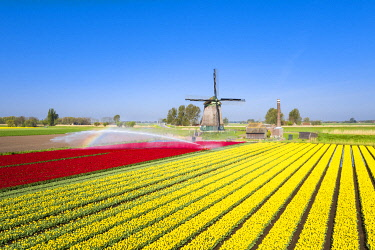 CLKGP110170 Red and yellow tulips in a multicolor tulips field near the De Kaagmolen windmill (Opmeer municipality, North Holland, Netherlands