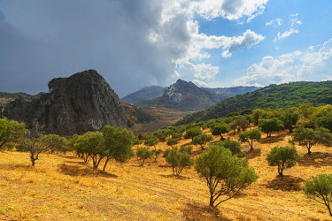 CLKRM104311 Olive groves and rocky mountains along the way to Montejaque, Serrania de Ronda, Malaga province, Andalusia, Spain