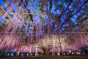 JAP1895AW Huge Wisteria plant at the Ashikaga flower park, Tochigi Prefecture, Japan