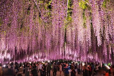 JAP1899AW Wisteria at the Ashikaga flower park, Tochigi Prefecture, Japan
