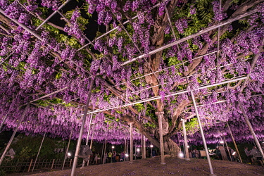 JAP1900AW Wisteria in full bloom at the Ashikaga flower park, Tochigi Prefecture, Japan