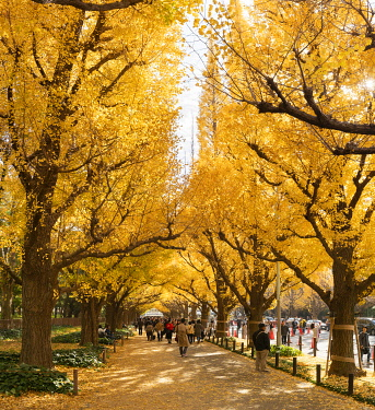 JAP1957AW Jingu Gaien Ginkgo Festival (Icho Matsuri) is held from mid November to early December annually, Tokyo, Japan