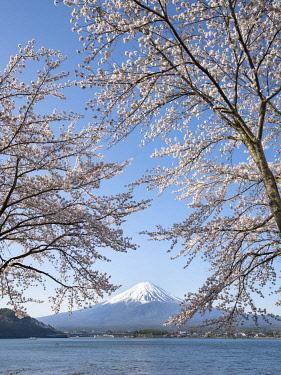 JAP1967AW Fujiyama near Lake Kawaguchiko during cherry blossom season, Yamanashi Prefecture, Japan