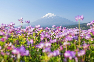 JAP1994AW Mount Fuji in spring with purple cosmos flowers in the foreground, Shizuoka Prefecture, Honshu, Japan