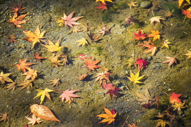 Autumn leaves at the Okochi Sanso Garden, Arashiyama, Kyoto, Japan