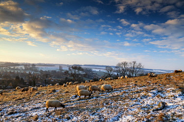 ENG16222AW Grazing Sheep in Winter, Cotswolds, Gloucestershire, England