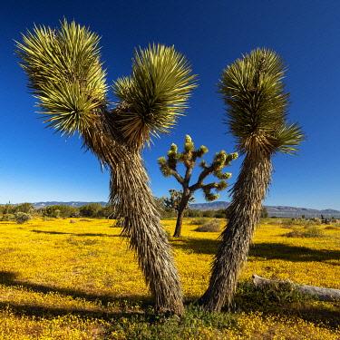 USA14685AW Joshua Trees & Wildflowers, Antelope Valley, California, USA